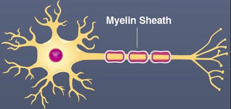 Myelin beskytter hjernecellerne