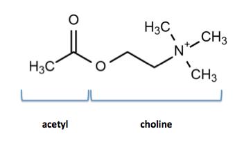Acetycholin - et vigtigt stof
